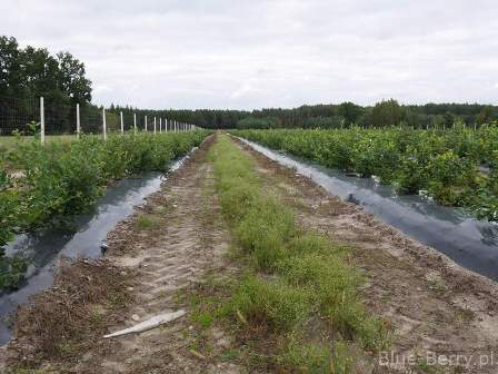 New blueberry plantation