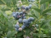 Our blueberry season 2017