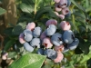 Polish blueberry season