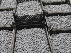 Ukraine is increasing the production of blueberries